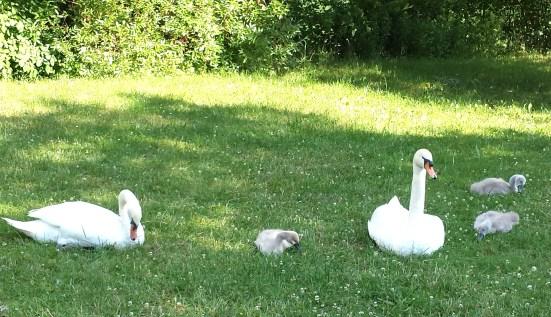 schwanfamilie ende juni 2016