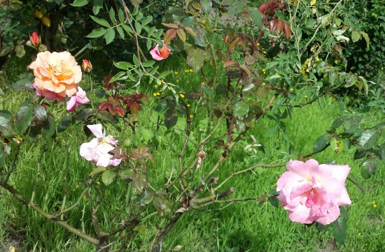 rosen-im-vorgarten